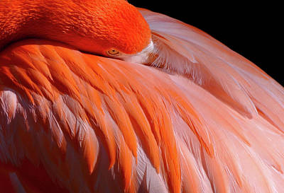 Photograph - Flamingo by Lilia D