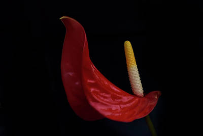 Photograph - Flamingo Lily by Carol Eade