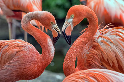 Photograph - Flamingo Love by Nadia Sanowar