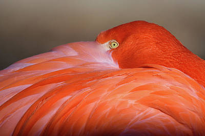 Photograph - Flamingo by Michael Hubley