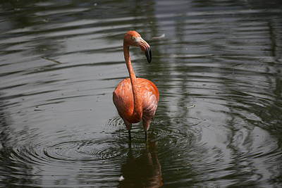 Photograph - Flamingo by Michel DesRoches