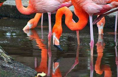 Photograph - Flamingo by Michiale Schneider