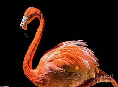 Photograph - Flamingo On Black by Mitch Shindelbower