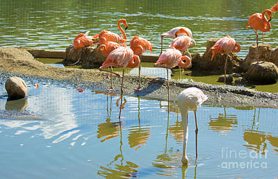 Photograph - Flamingo Pink And White by Irina Afonskaya