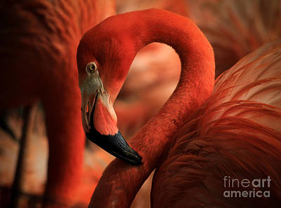 Flamingo Poised Art Print by Toma Caul