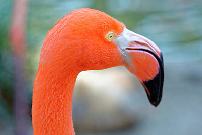 Flamingo Portrait Art Print
