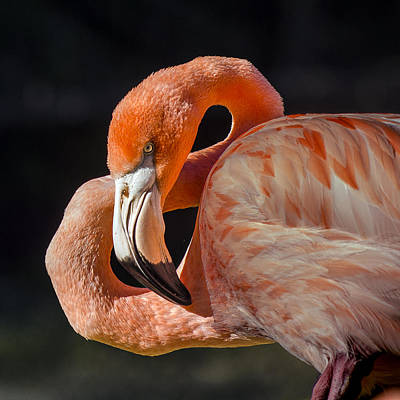 Photograph - Flamingo Profile With His Neck Curved Into A Figure Eight  by William Bitman