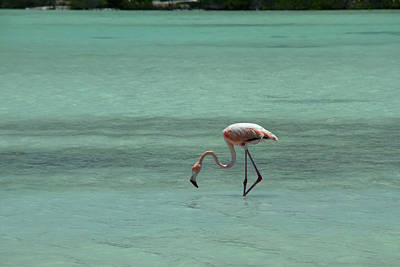 Photograph - Flamingo Provo Turks And Caicos by Debby Richards
