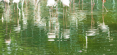 Photograph - Flamingo Reflections by Jocelyn Kahawai