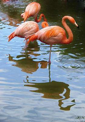 Print featuring the photograph Flamingo Reflections by Margaret Bobb