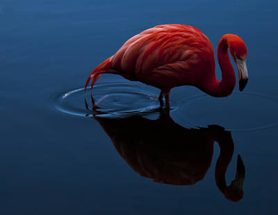 Photograph - Flamingo by Stewart Scott