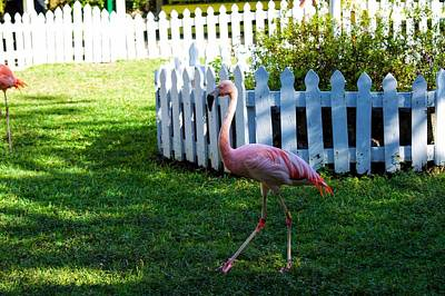 Photograph - Flamingo Walk by Joseph Caban