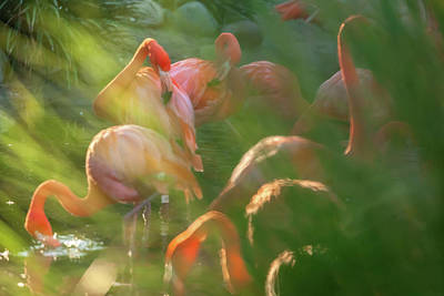 Photograph - Flamingoes by Jonathan Nguyen