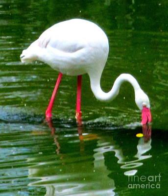 Photograph - Flamingos 2 by Randall Weidner