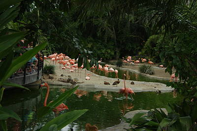 Photograph - Flamingos 2 San Diego Zoo by Phyllis Spoor