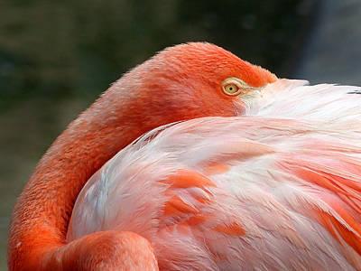 Photograph - Flamingos 5 by Jeff Brunton