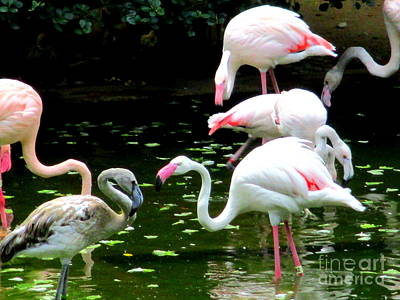 Photograph - Flamingos 5 by Randall Weidner