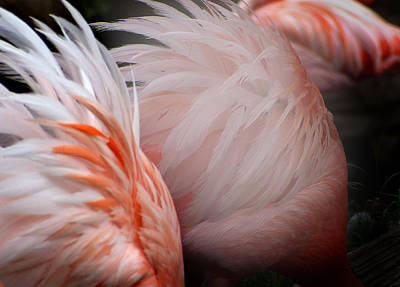 Photograph - Flamingos 7 by Jeff Brunton