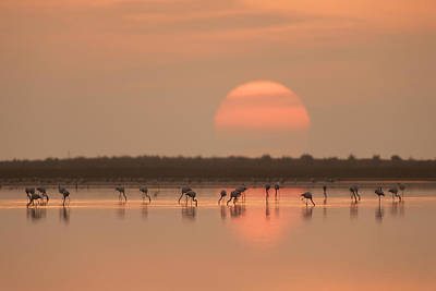 Flamingos At Sunrise Print by Joan Gil Raga