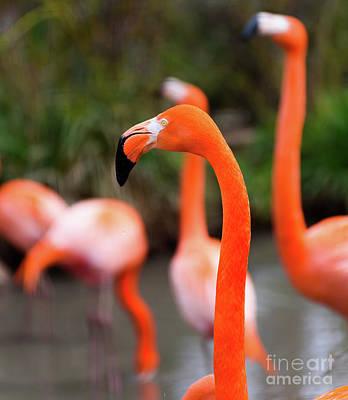 Photograph - Flamingos by Colin Rayner