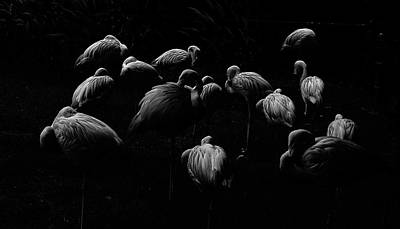 Photograph - Flamingos In Bw by Marvin Borst