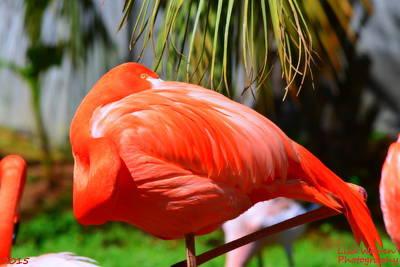 Photograph - Flamingos Nap Time by Lisa Wooten