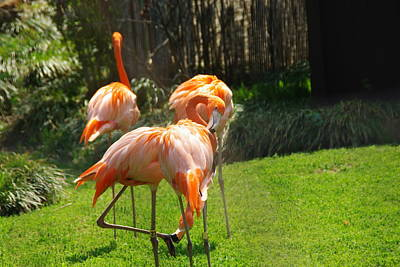 Photograph - Flamingos by Robyn Stacey