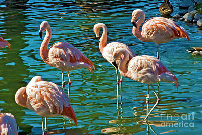 Photograph - Flamingos Wading by David Zanzinger