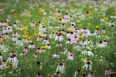 Photograph - Flanagan Prairie Purple Coneflowers by James Barber