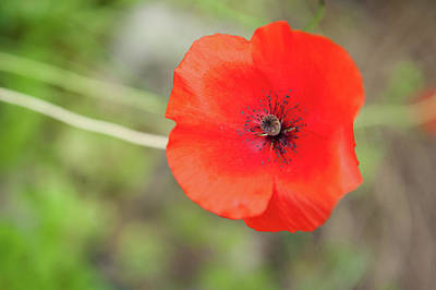 Photograph - Flanders Poppy by Helen Northcott