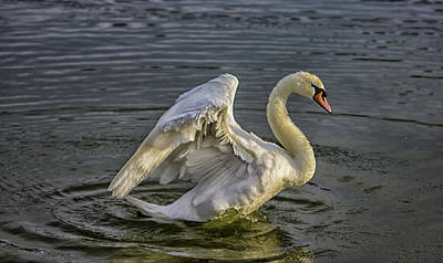 Swans Photograph - Flap Those Wings by Martin Newman