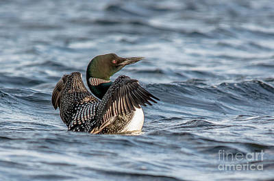 Curated Travel Chargers - Flapping Common Loon by Cheryl Baxter