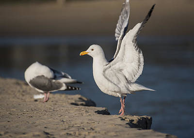 Photograph - Flapping Gull by Robert Potts