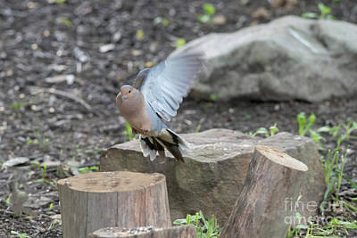 Photograph - Flapping On Her Way by Dan Friend