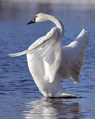 Photograph - Flapping Swan by Larry Ricker