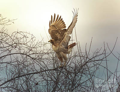 Red Tail Hawk Photograph - Flashing The Truckers by Robert Frederick