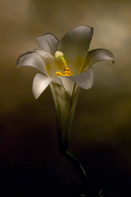 Photograph - Flashlight Series Easter Lily 7 by Lou  Novick