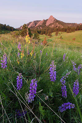Photograph - Flatiron Lupines by Aaron Spong
