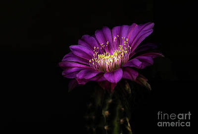 Cactus Flower Photograph - Flatty Cake Blooms by Ruth Jolly