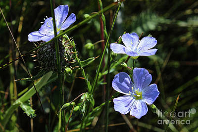 Photograph - Flax by Ann E Robson