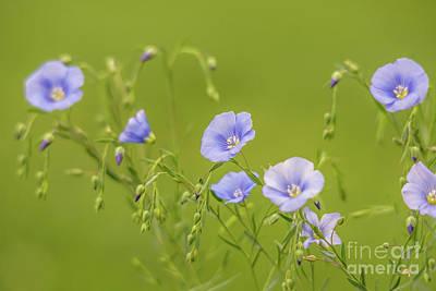 Photograph - Flax Flowers by Cheryl Baxter