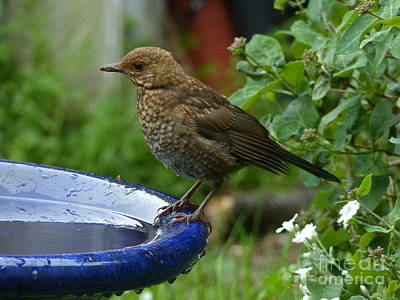 Photograph - Fledgling Blackbird by Phil Banks