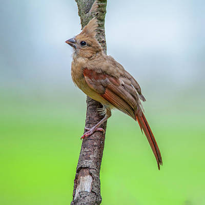 Photograph - Fledgling Cardinal by Cathy Kovarik