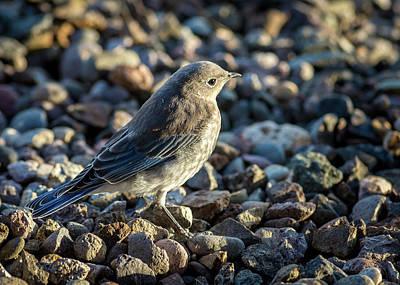 Photograph - Fledgling Mountain Bluebird by John Brink
