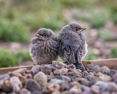 Photograph - Fledgling Mountain Bluebirds Out Of The Nest by John Brink