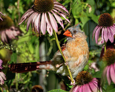 Photograph - Fledgling Northern Cardinal by Bill Wakeley