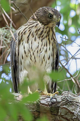 Photograph - Fledgling Red-shouldered Hawk 2 by Richard Goldman