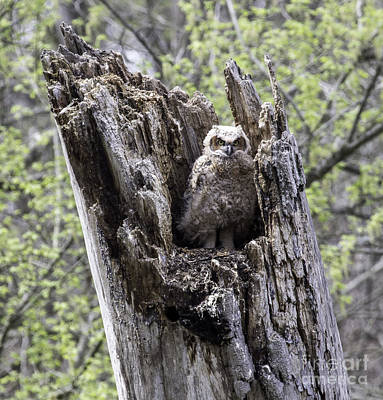 Photograph - Fledgling Owl by Jeannette Hunt