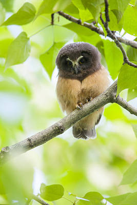 Whet Owl Photograph - Fledgling Saw-whet Owl by Tim Grams