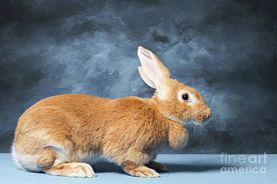 Photograph - Flemish Giant Rabbit by Les Palenik